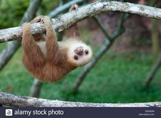 7 Sloth Facts You Probably Didn't Know Interesting facts from a hard-core sloth fan. Happy Animals, Cute Baby Animals, Wild Animals, Cute Sloth Pictures, Otters Cute, Baby Otters, Two Toed Sloth, Cute Baby Sloths, Cute Animal Videos