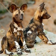 African wild dogs are one of Africa's most endangered species with less than left. Here are 10 things you didn't know about African wild dogs. Puppy Pictures, Animal Pictures, Baby Animals, Cute Animals, Wild Animals, African Wild Dog, Cockerspaniel, Tier Fotos, Wild Dogs