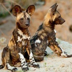 African wild dog pups......gorgeous