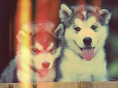 Ever since I was a little girl, I've always wanted a husky. I'm going to get one, one day!