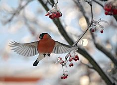 Moscow, Russia: A bullfinch on its search to find food flies between ice crusted branches of a rowan tree. Photograph: Vassili Korneyev/EPA