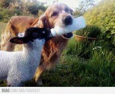 Just a smart dog feeding a baby sheep