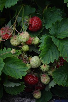 Finnish nature presents us: strawberries! duefiliderba.com #nature #finland #healthy #bio #strawberry