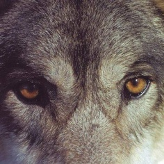 SUCH AN AMAZING, BEAUTIFUL CREATURE... THE WOLF <3<3<3<3<3<3<3