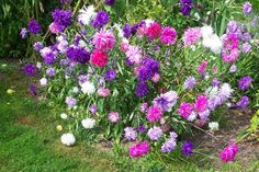 Aster: These perennial flowers grow well in average soils, but needs full sun. Aster flowers come in blues, purples and a variety of pinks. All Asters are yellow in the center of the flower. They are daisy-like in appearance, even though they are a member of the sunflower family.