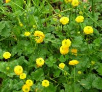 Ranunculus repens var. pleniflorus Creeping buttercup Z 3-9. 'Little Frog' named by Pliny