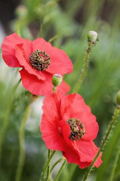 Red Poppies print by Maria Mosolova -