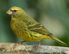 Forest Canary, South Africa & Swaziland