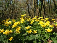Celandines<it's tricky to capture these low-growing flower well