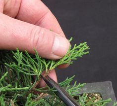 Proper care for a juniper bonsai - everything you need to know.