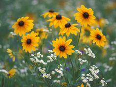 Black Eyed Susans And Daisy Fleabane Flowers,