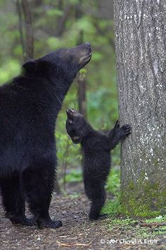 American black bears. Please check out my website thanks. www.photopix.co.nz