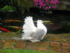 The Indian fantail doves are also known as homing doves. People usually keep these pigeons because they make the beauty of their home. Cute Birds, Pretty Birds, Beautiful Birds, Pet Pigeon, Dove Pigeon, Fantail Pigeon, Pigeon Loft Design, Pigeon Pictures, Pigeon Breeds