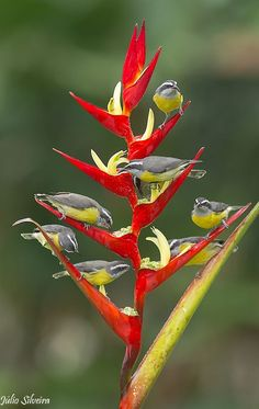 Bananaquits on a Bird Of Paradise Plant, Brazil