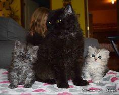 Iris Selkirk Rex, Rex Cat, T Rex, Bb Chat, Adorable Kittens, Cat Boarding, British Shorthair, Cats And Kittens, Iris