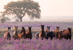 Lusitanos herd.jpg - Herd of young Lusitano stallion in the field of Portugal