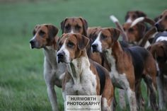 Keen Old English hounds. © www.Hurworth-Photos.co.uk - Please feel free to pin this image however this image must not be copied or re-produced without permission.