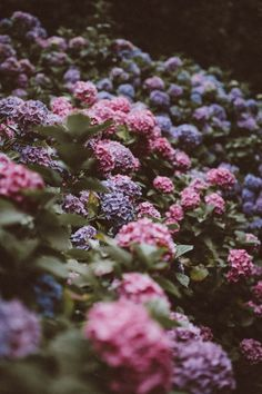 Aren't they beautiful? Their romantic flair makes them the favorite of many gardeners. Check out our article to learn more about the requirements, species and maintenance of hydrangeas.