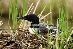 Time for the loons to nest!