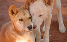 Dingos.  Australia // by john white photos