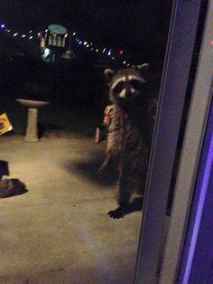 We had a delightful visitor last night! He said to tell James Gunn hello :) #RocketRaccoon