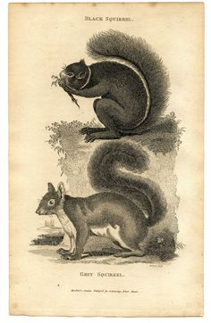 DIY project: instant art for fall! ~ black & grey squirrels ~ vintage print   via The Graphics Fairy