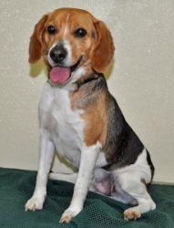 Petfinder Adoptable Dog | Beagle | Port Washington, NY | Toscano.  www.theshelterconnection.com
