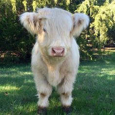Legendary adorable at-least-cow photos - Lustiges Tier - Animals Cute Baby Cow, Baby Cows, Cute Cows, Baby Farm Animals, Baby Elephants, Elephant Baby, Fluffy Cows, Fluffy Animals, Animals And Pets