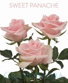 Roses Rose Varieties Cut Flowers Pink Color Clarity Bouquets Fls