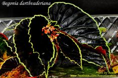 Newly publishedBegonia darthvaderiana   I got my plant from Taiwan a year ago. I was told that some explorers collected its seeds and pr...