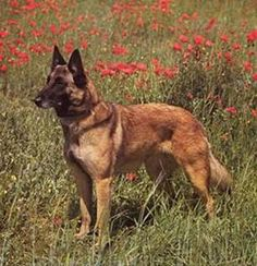 would also like one of these: Belgian Malinois Belgian Malinois Dog, Dog Varieties, Military Dogs, Brown Dog, Working Dogs, Dog Portraits, Dog Art, Girls Best Friend, Dog Love