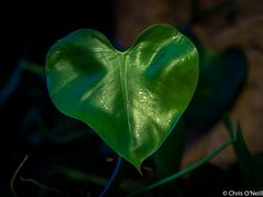 Project 365 #74 - Feuille d'amour