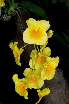 Dendrobium erijii