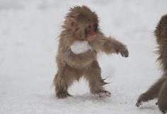ねえ、ねえ一緒に雪玉で遊ぼうよ 遊びに誘っているようで、カワイイですねぇ。。。  Flickrはこちら↓ http://www.flick...