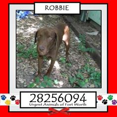**Fort Worth, TX - Current Status: IMMEDIATE TAG NEEDED - Scheduled for euthanasia 7/4  Reason for URGENT: Heartworm Positive  Animal ID: 28256094 Name: Robbie Breed: Labrador mix Sex: Male Age: 3 years https://www.facebook.com/fwaccurgents/photos/a.866615710077191.1073742653.137921312946638/886258594779569/?type=3&theater