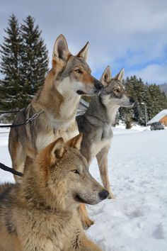 Wolf dogs❤