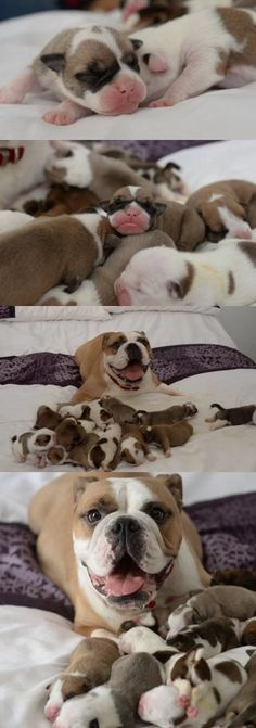 Juma The Bulldog Is So Proud After Giving Birth To 14 Puppies #dog #dogs #pets