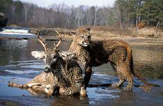 cougar and deer