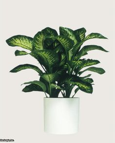 Dieffenbachia Amonena Also known as dumb cane, this houseplant is poisonous and dangerous for humans and animals
