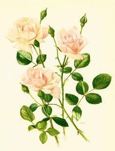 Rose New Dawn Planche originale années 50, Botanique fleurs, Roses de collection, rosier rose, jardin ornemental, décor campagne chic