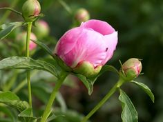 When to Transplant Peonies?