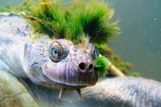 Mary River Turtle from Australia