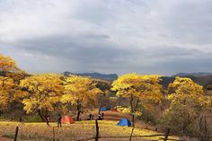 Camping is a great way to experience the blossoming of the guayacan forest up close.  Ecuador