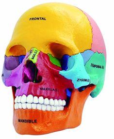 Laboratorio dentale Anatomia Golbe 4D maestro Testa Umana Medico anatomia Colorato Didactic Esplosa modello Del Cranio scheletro