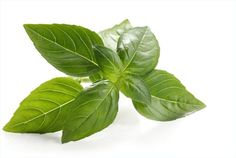 Don't put basil in the 'fridge! Fresh-cut basil will last more than a week if you put it in a glass of water at room temperature.