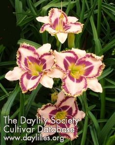 'John Benoot' (Hansen-D., 2006)  scape height26 inches bloom size5.25 inches bloom seasonEarly, Rebloom  ploidyTetraploid f...