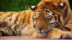 Sleeping Lion | Uyuyan Aslan