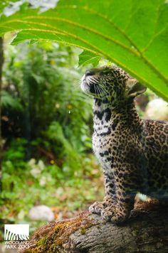 Woodland Park Zoo Blog: Jaguar cubs take first practice steps outside