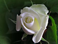 white rose - perfect almost unreal. Summer Flowers, White Roses, Bloom, Plants, Beautiful, Plant, Planets