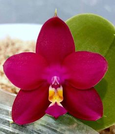 Phalaenopsis orchids Phalaenopsis Orchid, Orchids, Kerala India, Red Apple, Plants, Flora, Plant, Orchid
